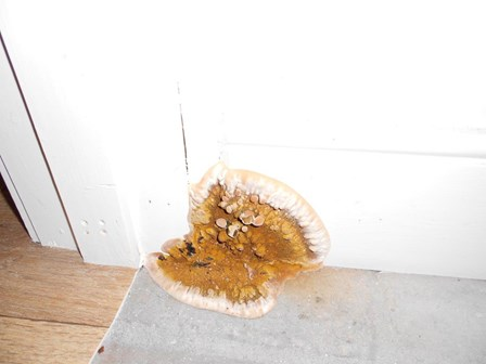 Dry rot fungus / fruiting body on skirting board, Armagh, Co. Armagh, NI